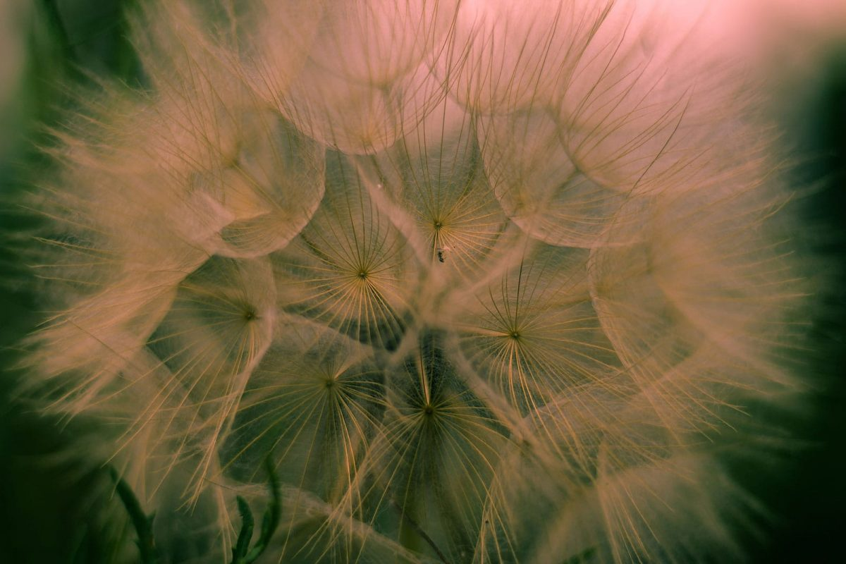 close up of a dandelion