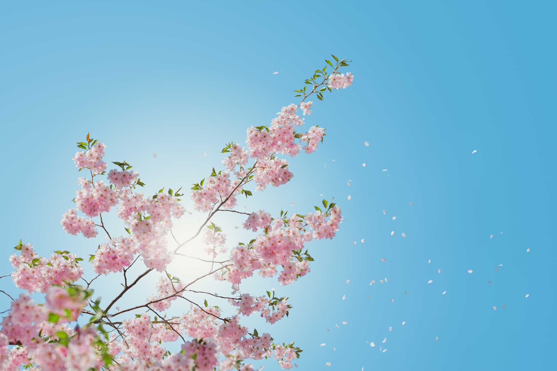 cherry blossom against a clear blue sky
